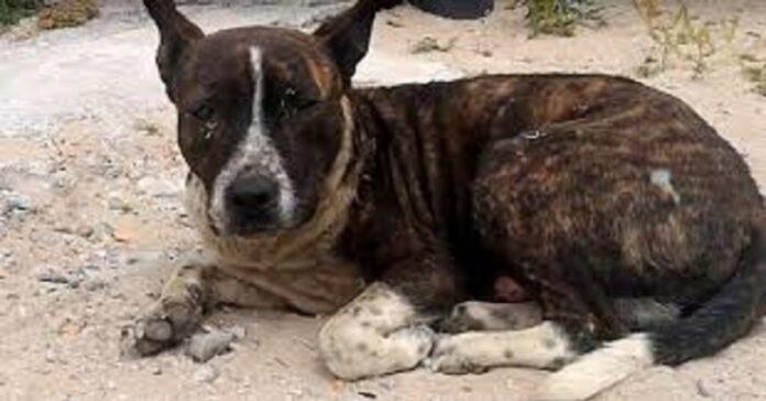 il-cane-con-il-cuore-spezzato-aspetta-laiuto-di-qualcuno-per-un-anno-intero