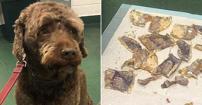 il-cane-ingoia-del-denaro-loperazione-per-estrarli-costa-altrettanti-soldi