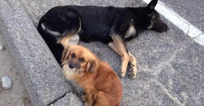 il-cane-randagio-rimane-vicino-alla-sua-amica-incinta-per-proteggerla