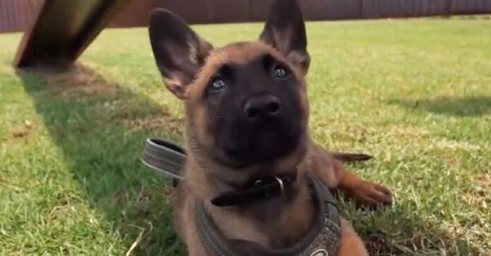 il-cucciolo-affronta-con-entusiasmo-il-suo-primo-giorno-di-addestramento
