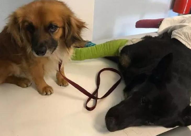 Il cane randagio rimane vicino alla sua amica incinta per proteggerla