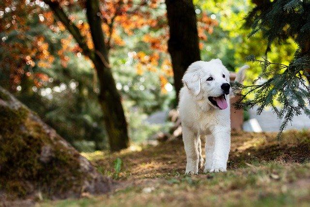 mmunodeficienza combinata grave nel cane