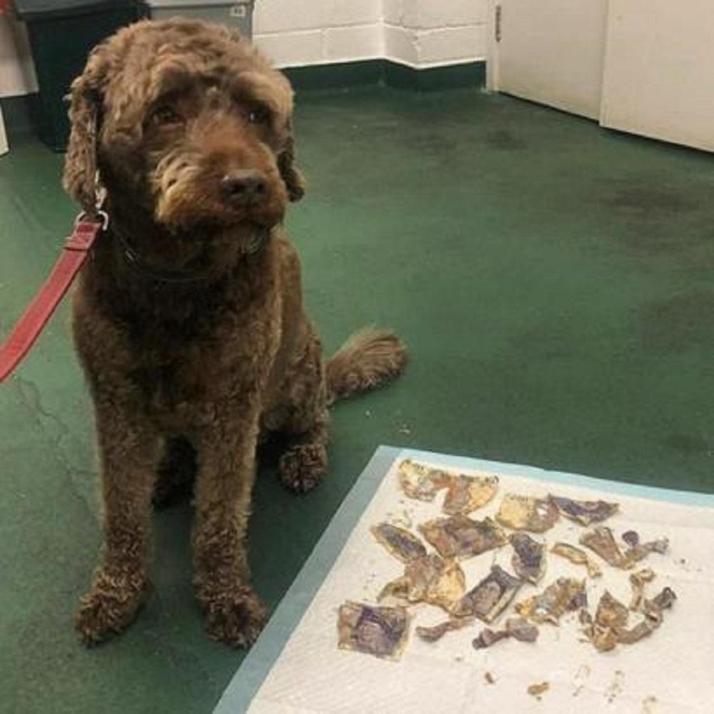 Il cane ingoia del denaro, l'operazione per estrarli costa altrettanti soldi