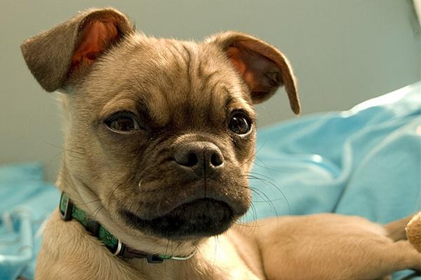 30 razze di cani piccoli a pelo corto, per chi odia la toelettatura
