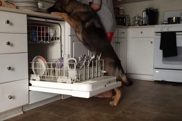 Il cane aiuta a lavare i piatti: il risultato è tutto da ridere - VIDEO
