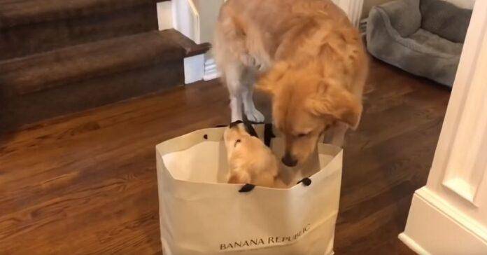 cane adulto incotra cucciolo