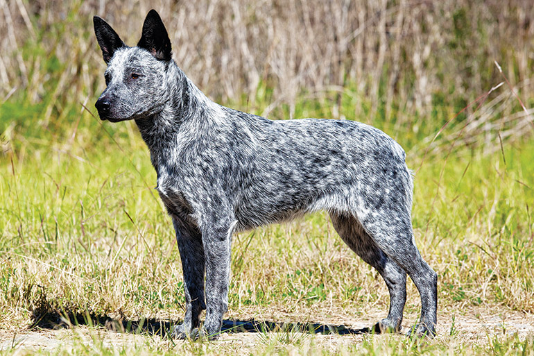 esemplare di cane Australian Stumpy Tail Cattle Dog