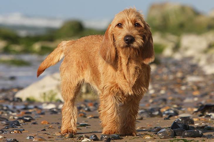 cane Basset Fauve de Bretagne