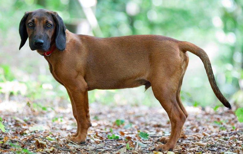 cane razza Bayerischer Gebirgsschweisshund