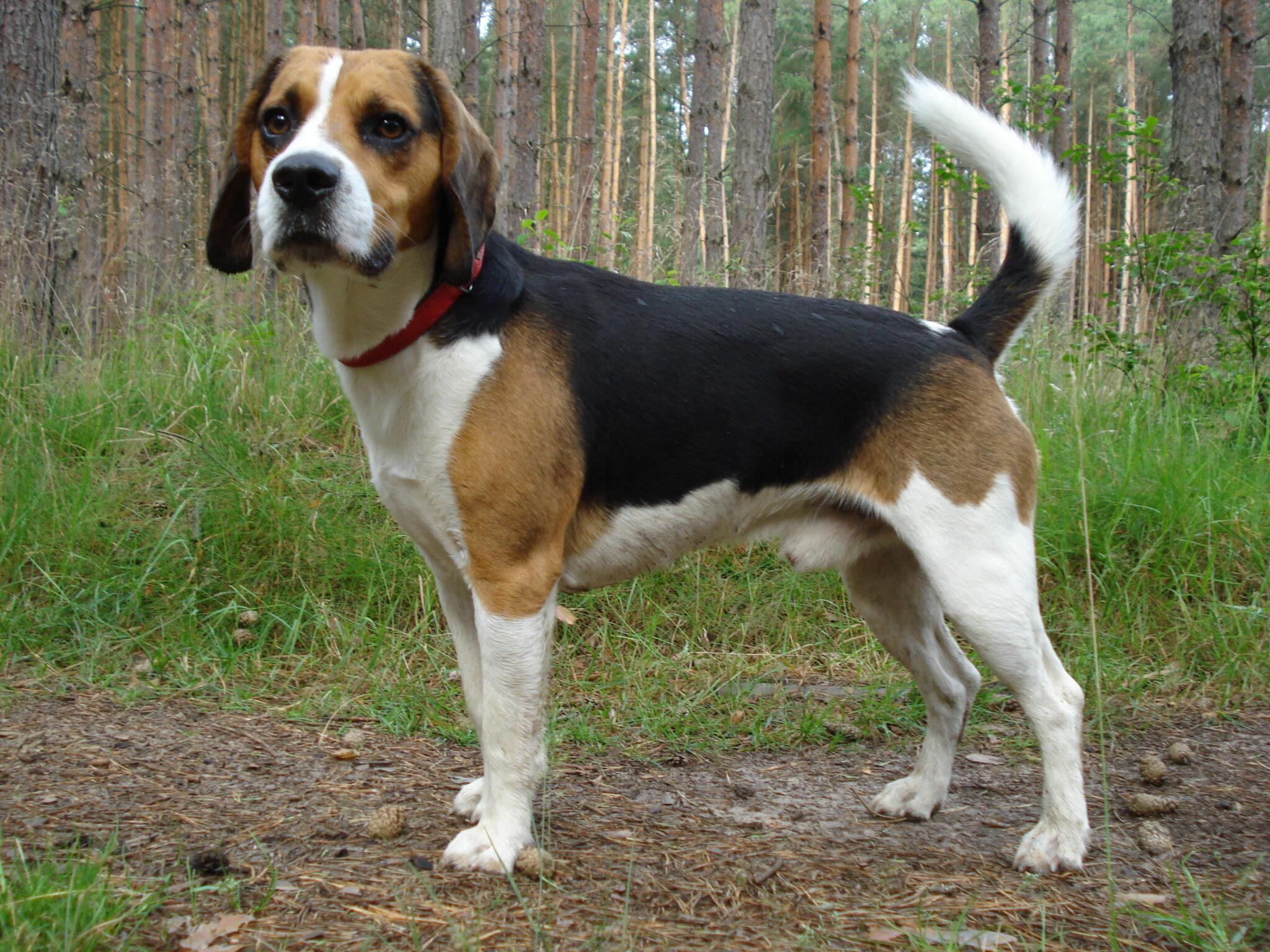 esemplare di cane Beagle-Harrier