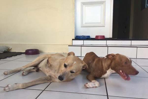 Due pitbull sdraiati