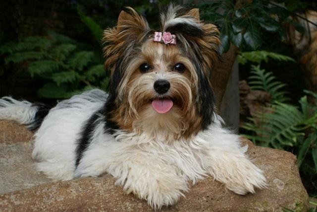 cane razza Biewer