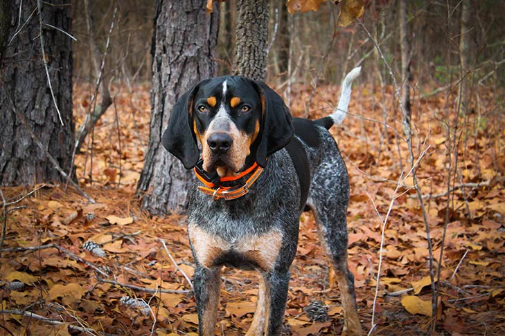 cane Bluetick Coonhound nel bosco