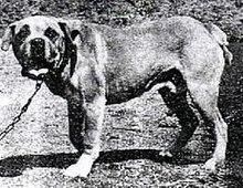 foto in bianco e nero di esemplare di Cão de Fila da Terceira