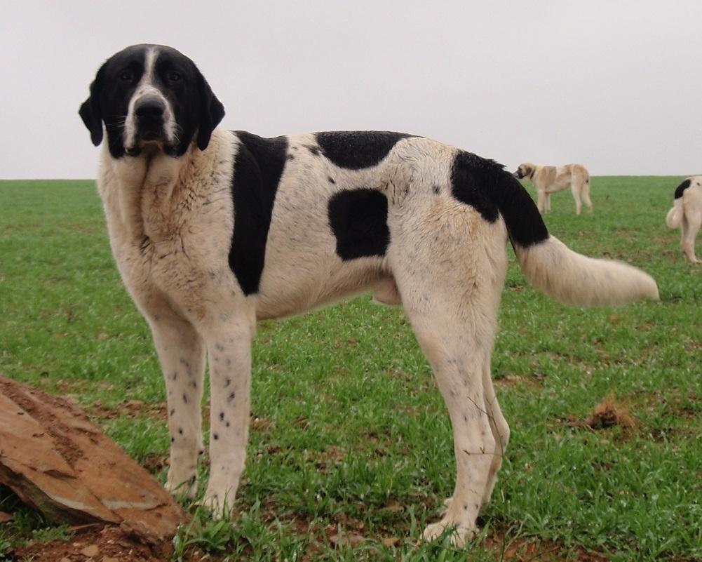 esemplare di Cão de Gado Transmontano