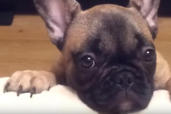 Primo piano di un cane Bulldog