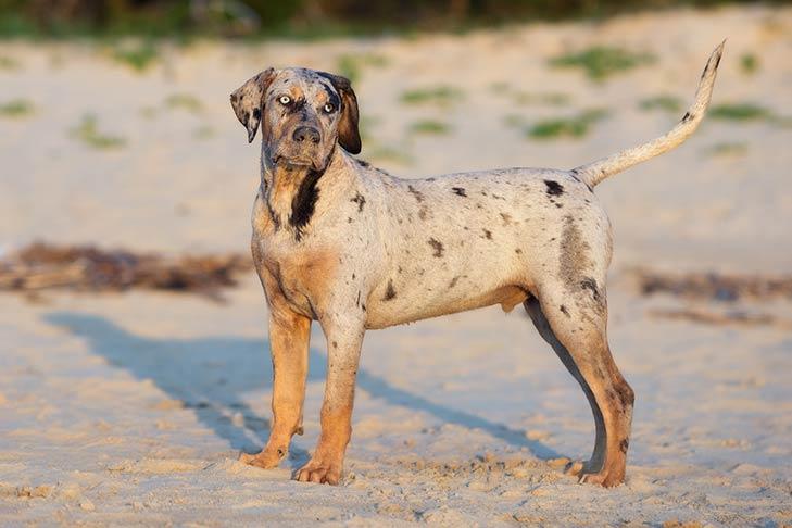 Catahoula Leopard Dog in spiaggia
