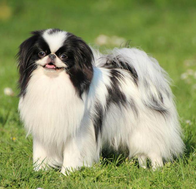 cane chin sul prato