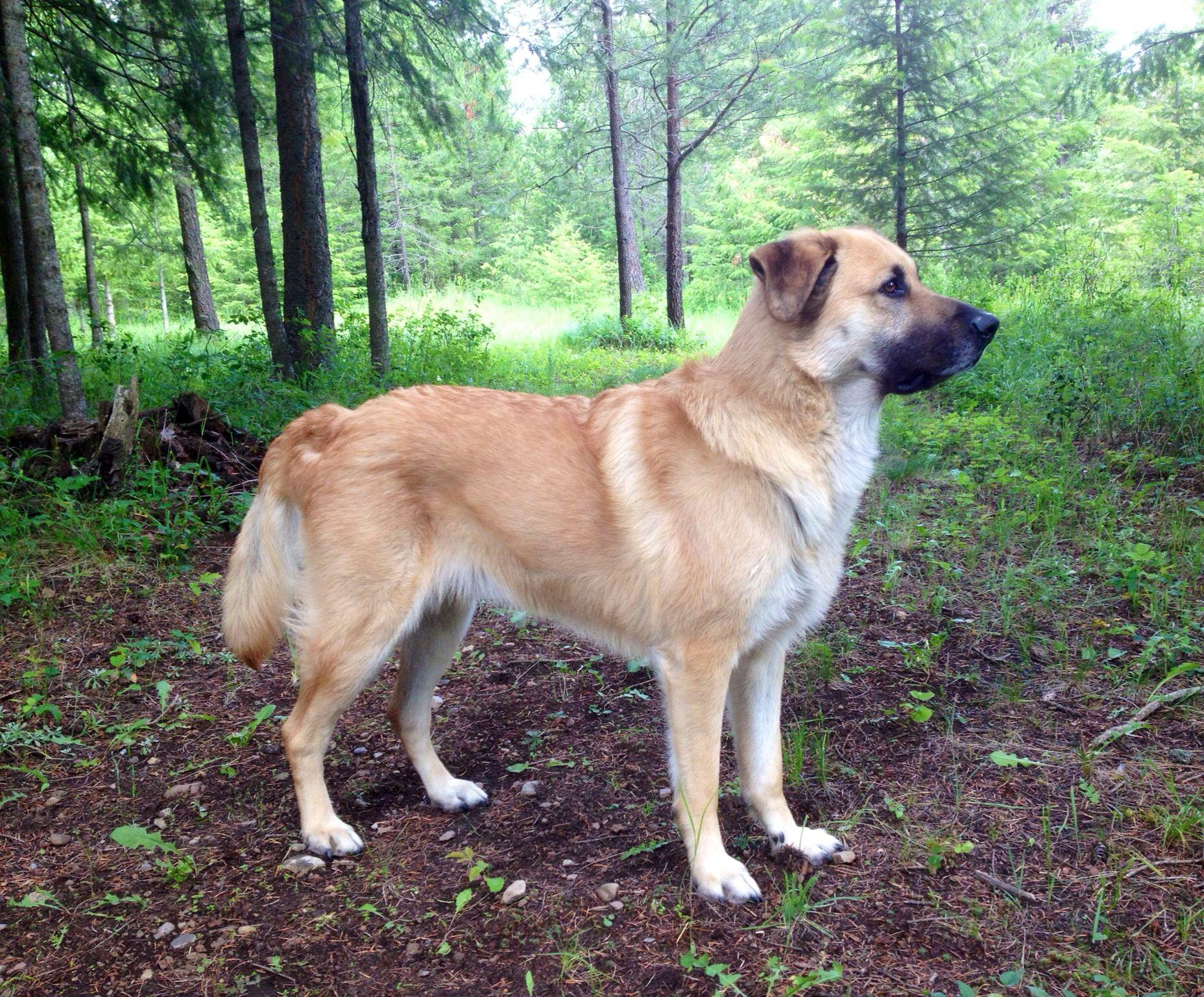 esemplare di cane Chinook