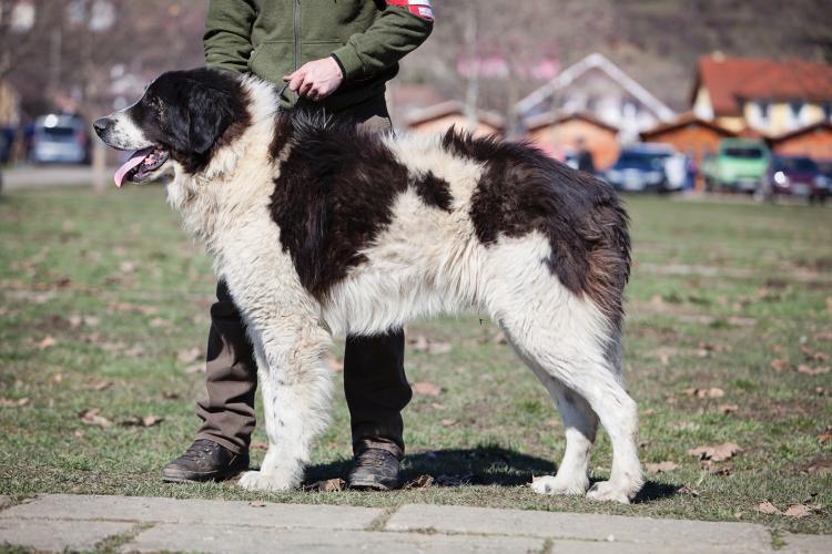 esemplare di cane Ciobănesc de Bucovina