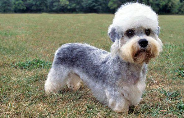 esemplare di Dandie Dinmont Terrier