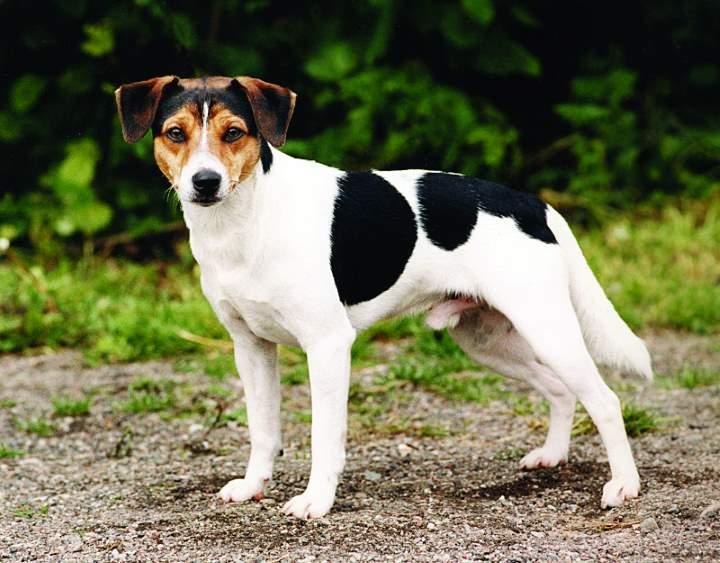 esemplare di cane Danish/Swedish Farm Dog