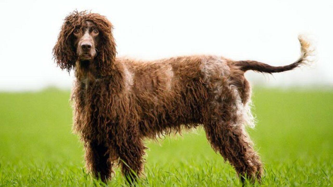 cane Épagneul de Pont-Audemer sul prato