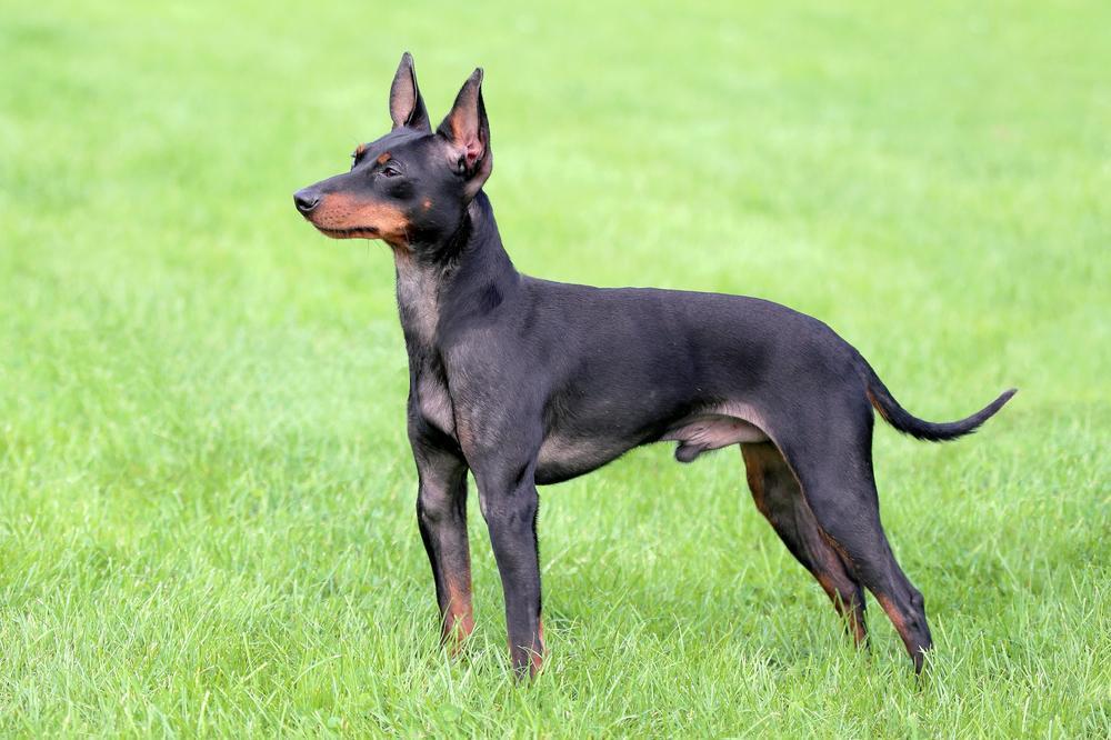 esemplare di English Toy Terrier Black & Tan