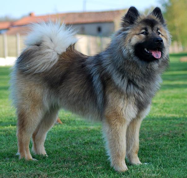 esemplare di cane Eurasier
