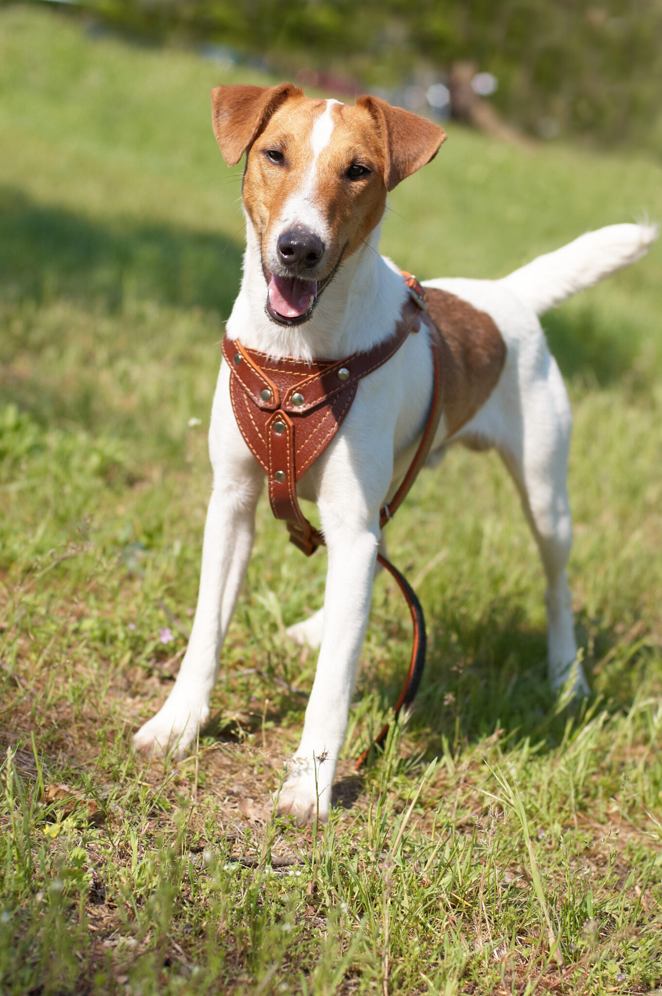 Fox Terrier a Pelo Raso
