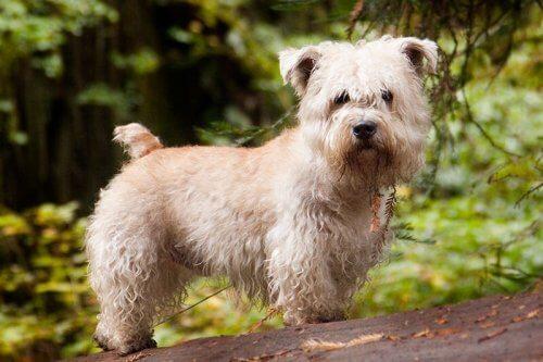 esemplare di Glen of Imaal Terrier