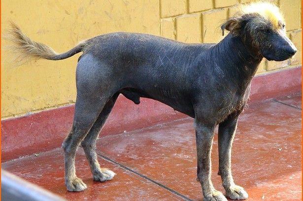 esemplare di cane Hairless Khala