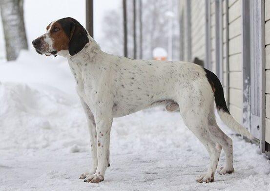 cane di razza Haldenstovare