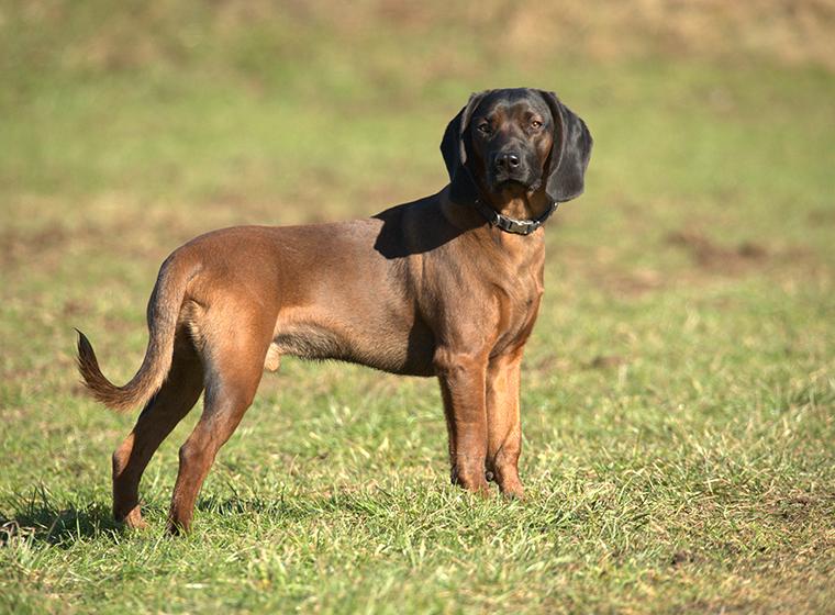 esemplare di cane razza Hannoverscher Schweisshund su prato