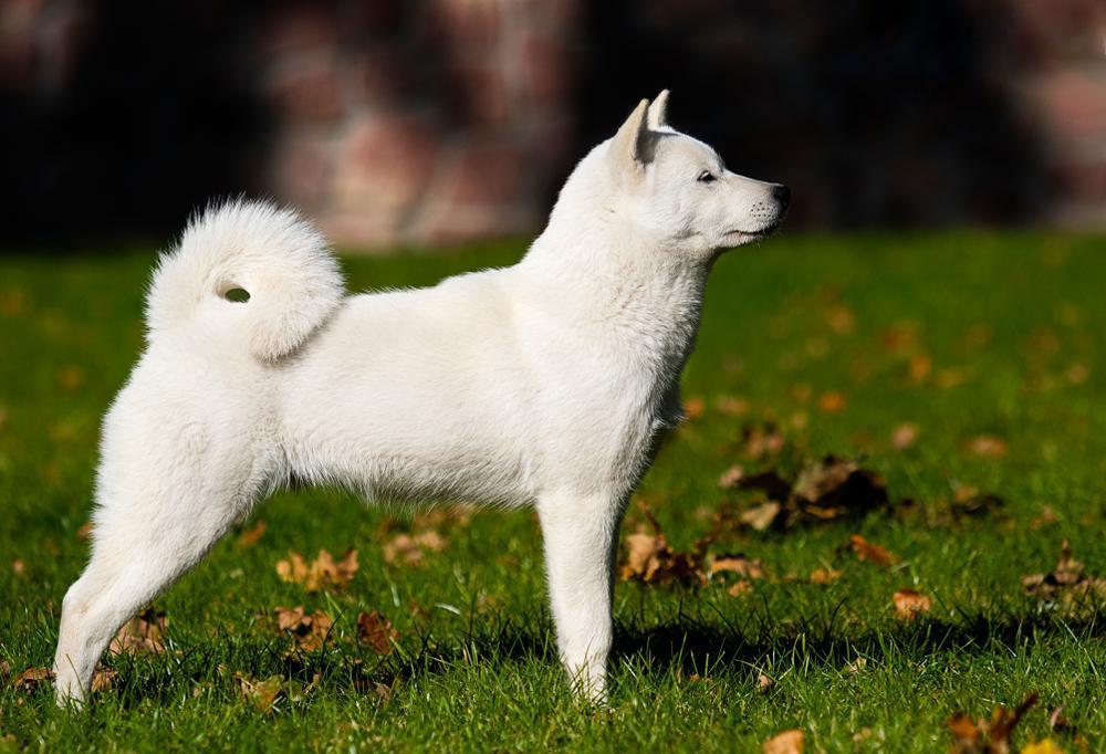 cane razza Hokkaido