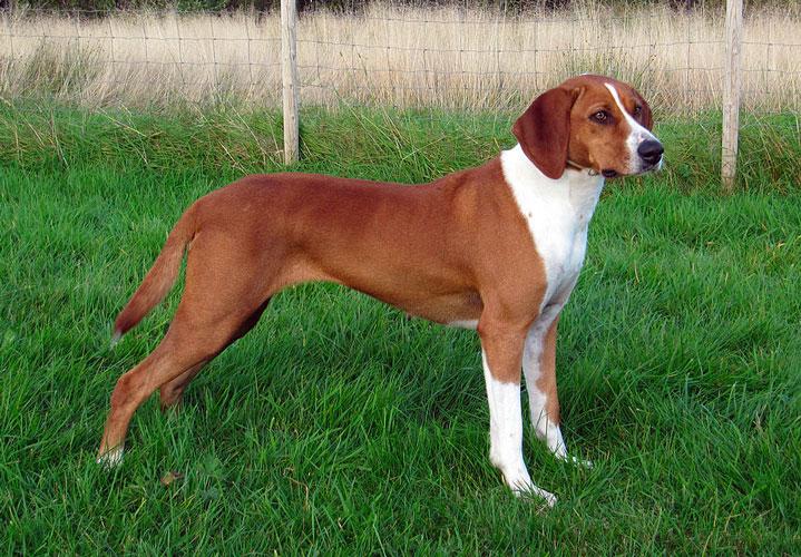 cane razza Hygenhund su prato