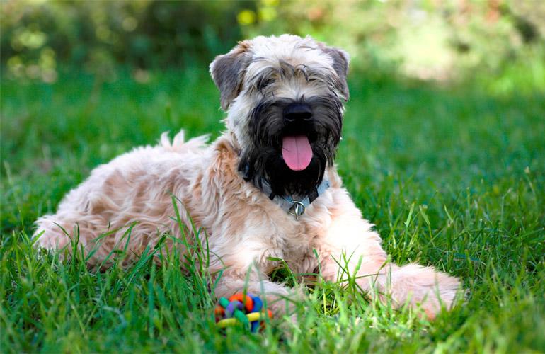 esemplare di Irish Soft Coated Wheaten Terrier