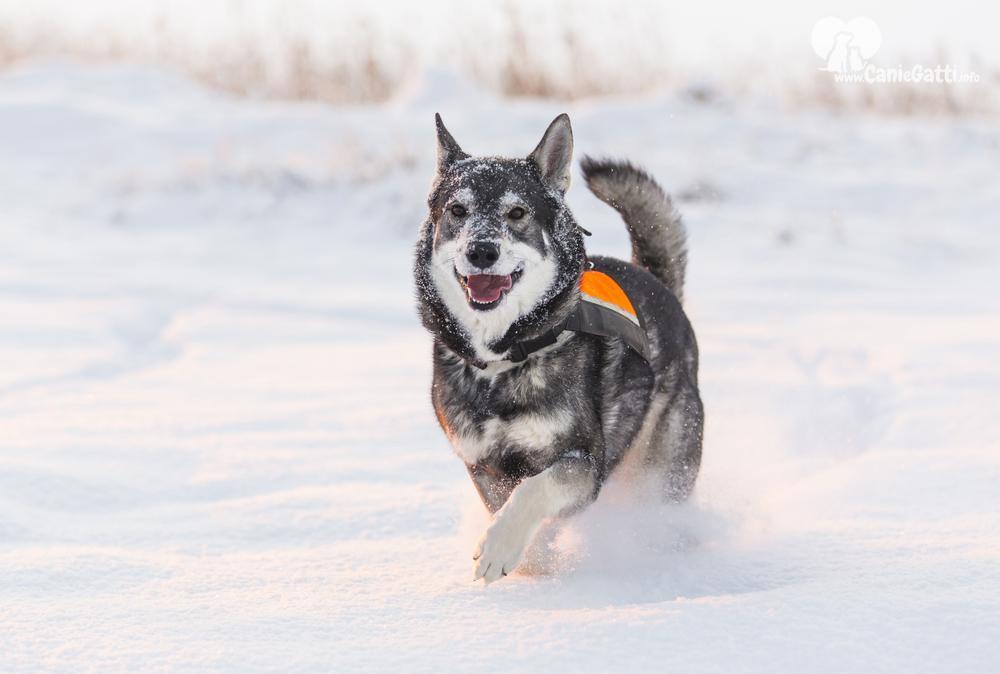 Cane Jämthund in corsa sulla neve