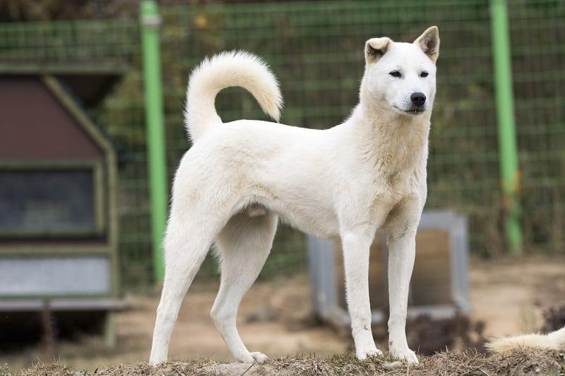 Korea Jindo Dog