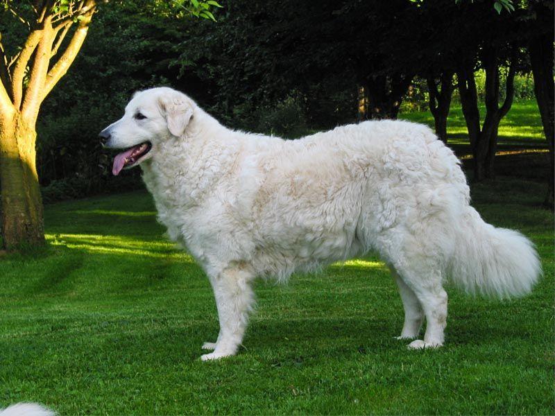 cane Kuvasz sul prato
