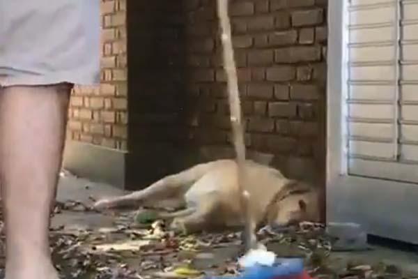 Golden Retriever sdraiato