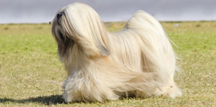esemplare di cane Lhasa Apso