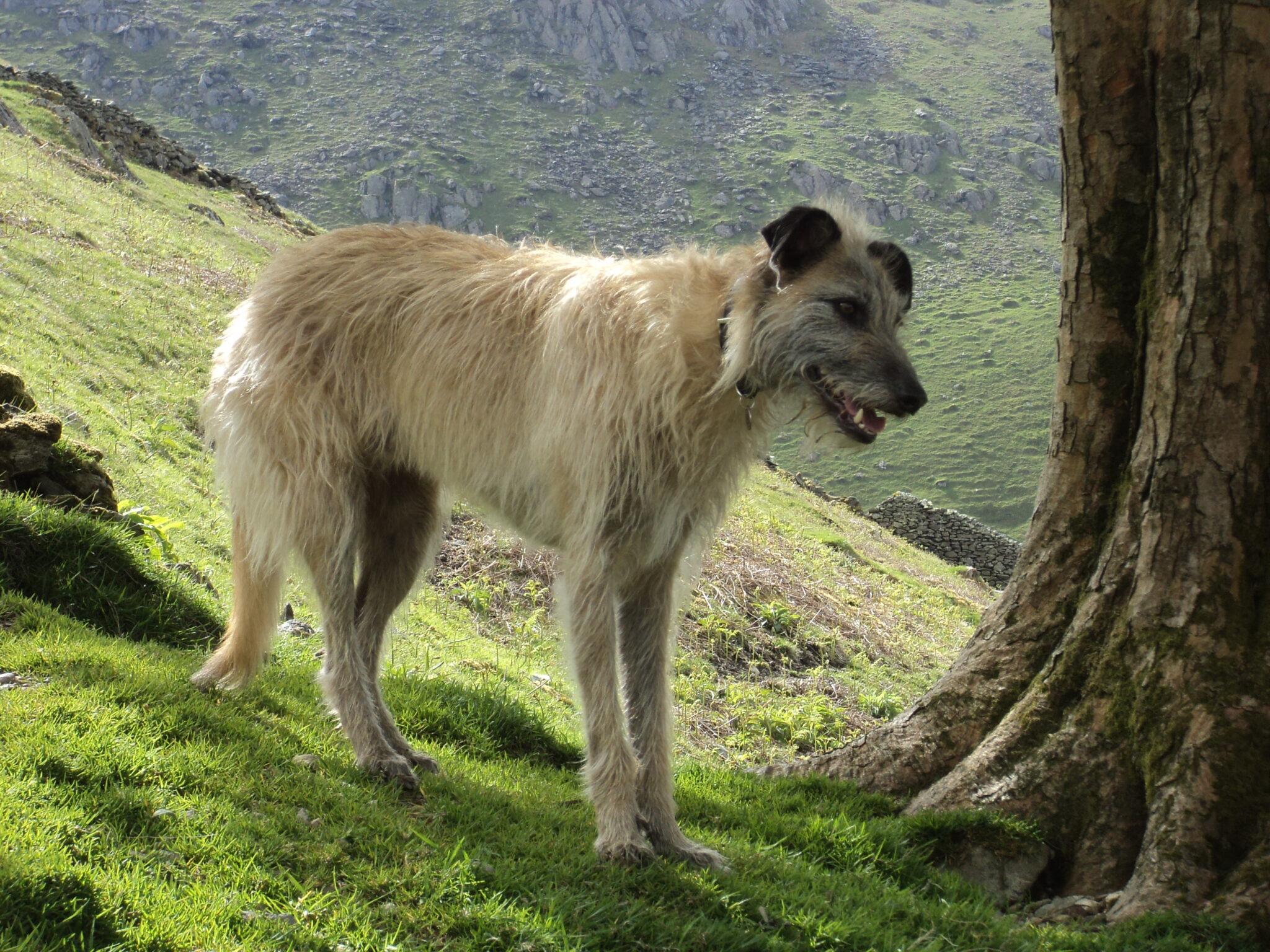 cane Lurcher in campagna
