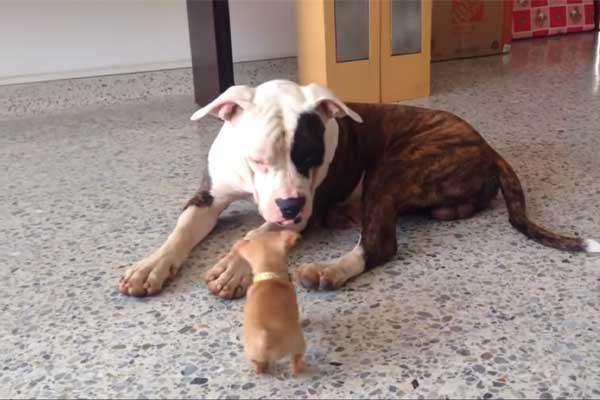 Chihuahua gioca con Bulldog americano