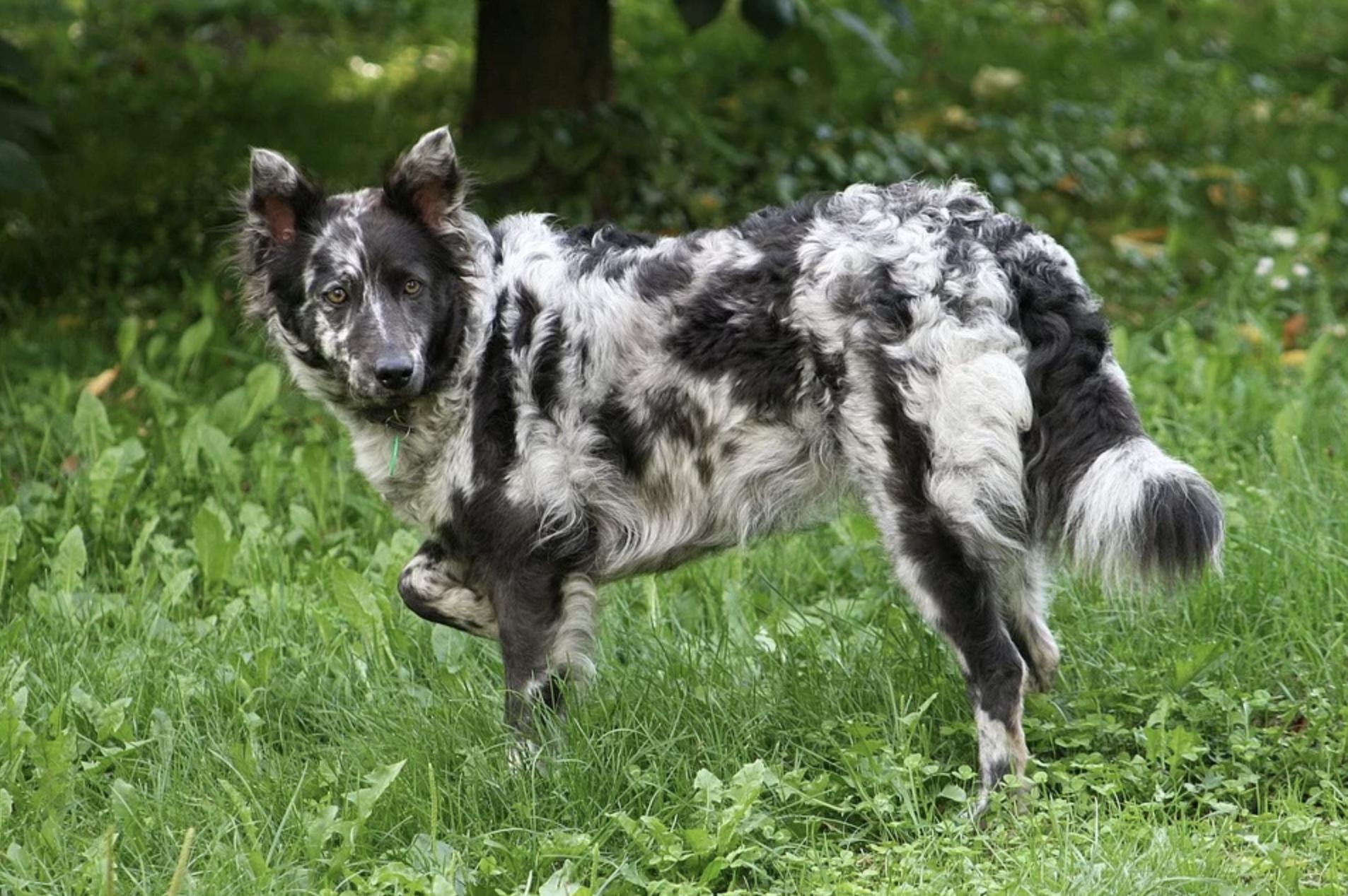cane razza Mudi su prato