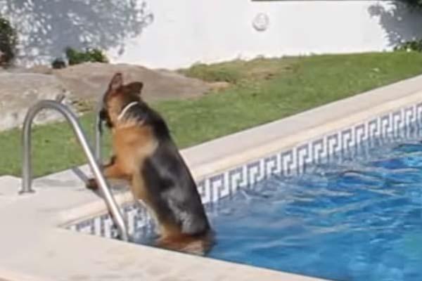 Pastore Tedesco in piscina