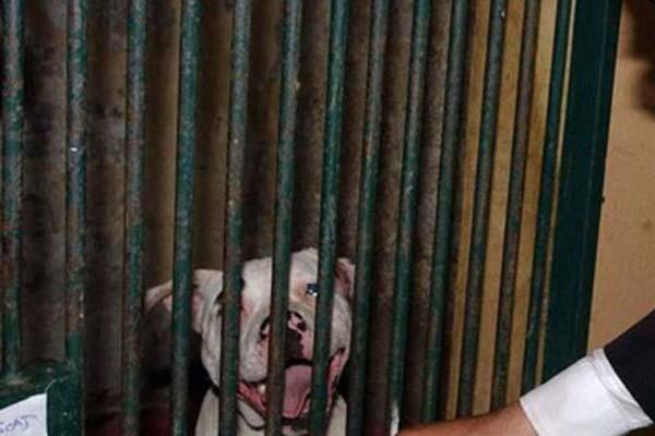 Pitbull dentro una gabbia