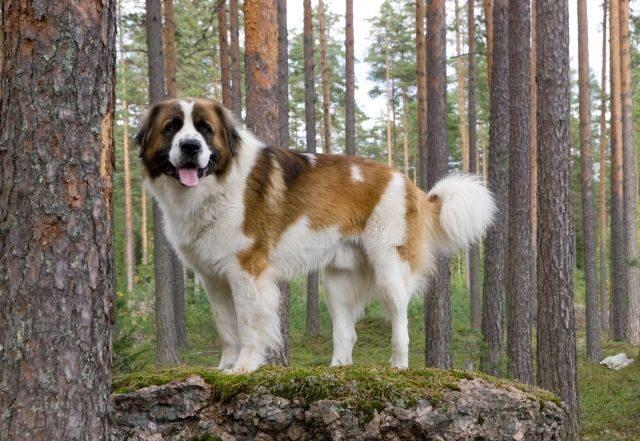esemplare di Guardiano Moscovita nel bosco