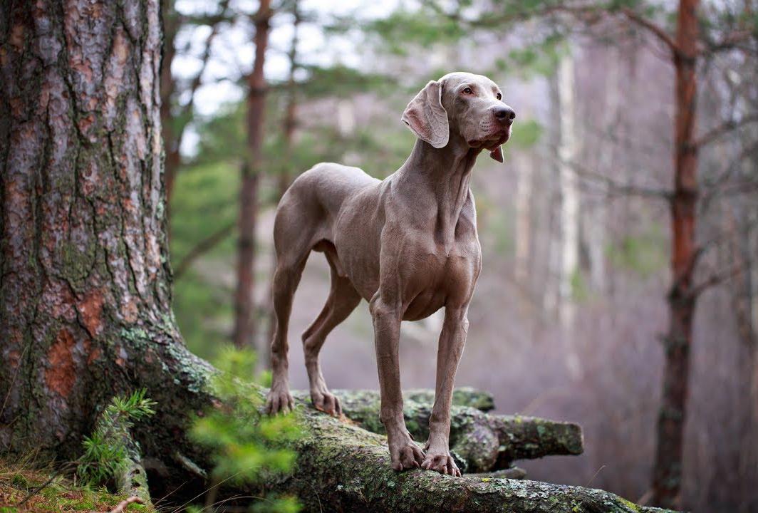 cane razza Weimaraner nel bosco