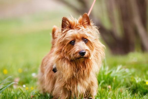 esemplare di cane Australian Terrier